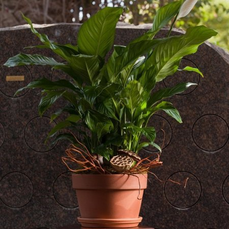 "10"" Spath Plant"